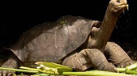 """Letzte Riesenschildkröte ihrer Art: """"Lonesome George"""" ist tot"""