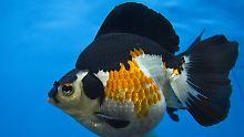 """Ein Goldfisch in einem Aquarium: Fische haben magnetische """"Kompass-Zellen"""". Sie ermöglichen den Tieren eine Ausrichtung am Magnetfeld der Erde."""