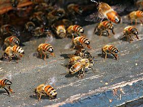 Arbeitsbienen am Eingang zum Bienenstock.