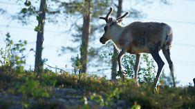 Elche trifft man in Schweden häufiger an als in Norwegen.