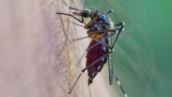 In Brasilien ist die Tigermücke weit verbreitet - und diese überträgt das mitunter tödlich verlaufende Dengue-Fieber.