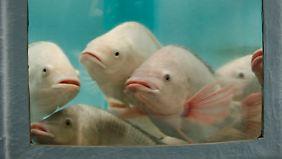 Ein Blick in den Wassertank: Aquaponik-Fische müssen hohe Temperaturen aushalten können.