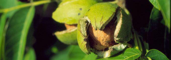 berraschung f r chemiker sexualhormon im walnussbaum n