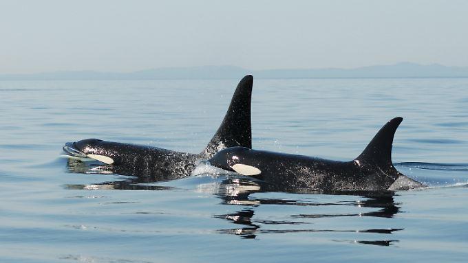 Ein altes Orca-Weibchen und ihr Sohn.