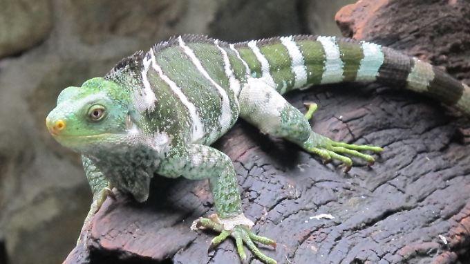 Einer der letzten noch lebenden Monuriki- Kammleguane im Kula-Eco-Tierpark in Singatoka auf den Fidschi-Inseln.