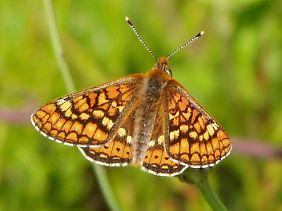 Der Goldene Scheckenfalter ist in Deutschland stark gefährdet. In den USA sind bereits zwei Arten des Schmetterlings ausgestorben.