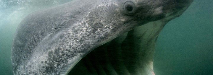 Lahm Aber Pfiffig Gronlandhai Jagt Schlafende N Tv De