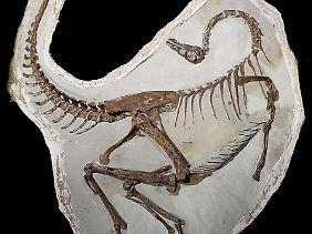 Dieser Vogelnachahmer-Dinosaurier nutzte seine Federn möglicherweise zunächst nicht zum Fliegen, sondern für die Paarung