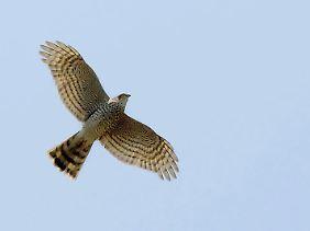 """Wenn ein Sperber seine Kreise zieht, schlagen viele Singvögel mit demselben Ruf Alarm: Ein hohes, feines """"ziiiii"""" informiert über den Feind."""