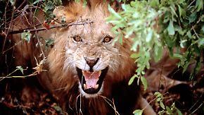 Safari-Tour mit jähem Ende: Löwe zerschlägt Busscheibe
