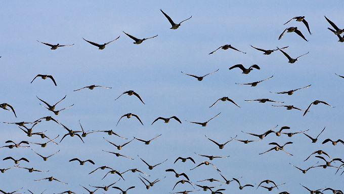Die Weißkragenpipras gehören nicht zu den eigentlichen Zugvögeln (Im Bild: Wildgänse).