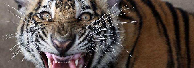 In Thailand leben Schätzungen zufolge noch 300 Tiger. Viele der gefährlichen Tiere fristen ihr Dasein allerdings angekettet in Zoos.