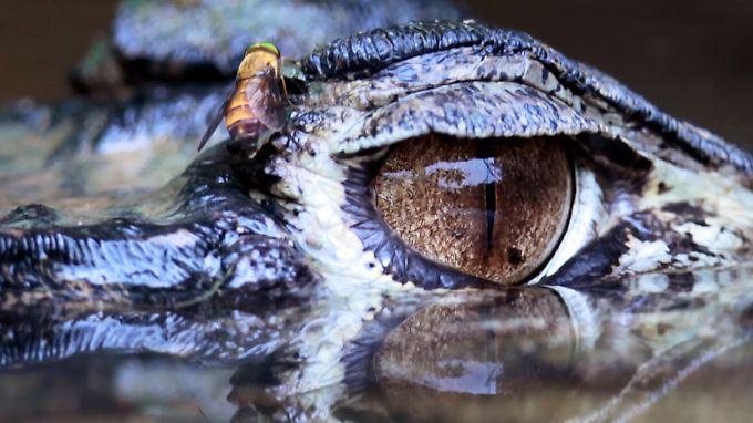 Gefährliche Jäger: Krokodile sieht man oft erst, wenn es zu spät ist.