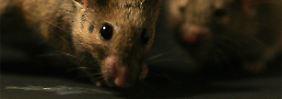 """""""Live fast, die young"""": Ängstliche Mäuse leben länger"""