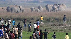 Eine Herde wilder Elefanten wird von Dorfbewohnern in Schach gehalten.