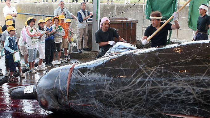 Japanische Schulkinder müssen sich die Zerlegung eines Schnabelwals ansehen.