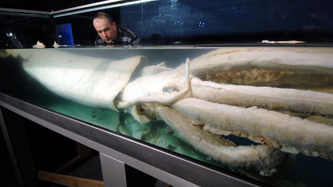 Im Stralsunder Ozeaneum können die Besucher einen sechs Meter langen Riesenkalmar bewundern.