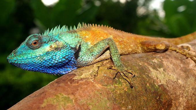 Der männliche Mini-Drache färbt sich bei der Brautschau azurblau.