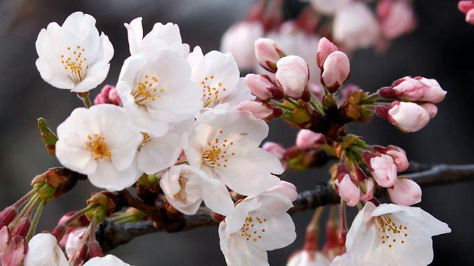 Die Kirschblüte in Japan verspricht neues Leben. Auch in die Wirtschaft des Landes scheint neues Leben zu fließen.