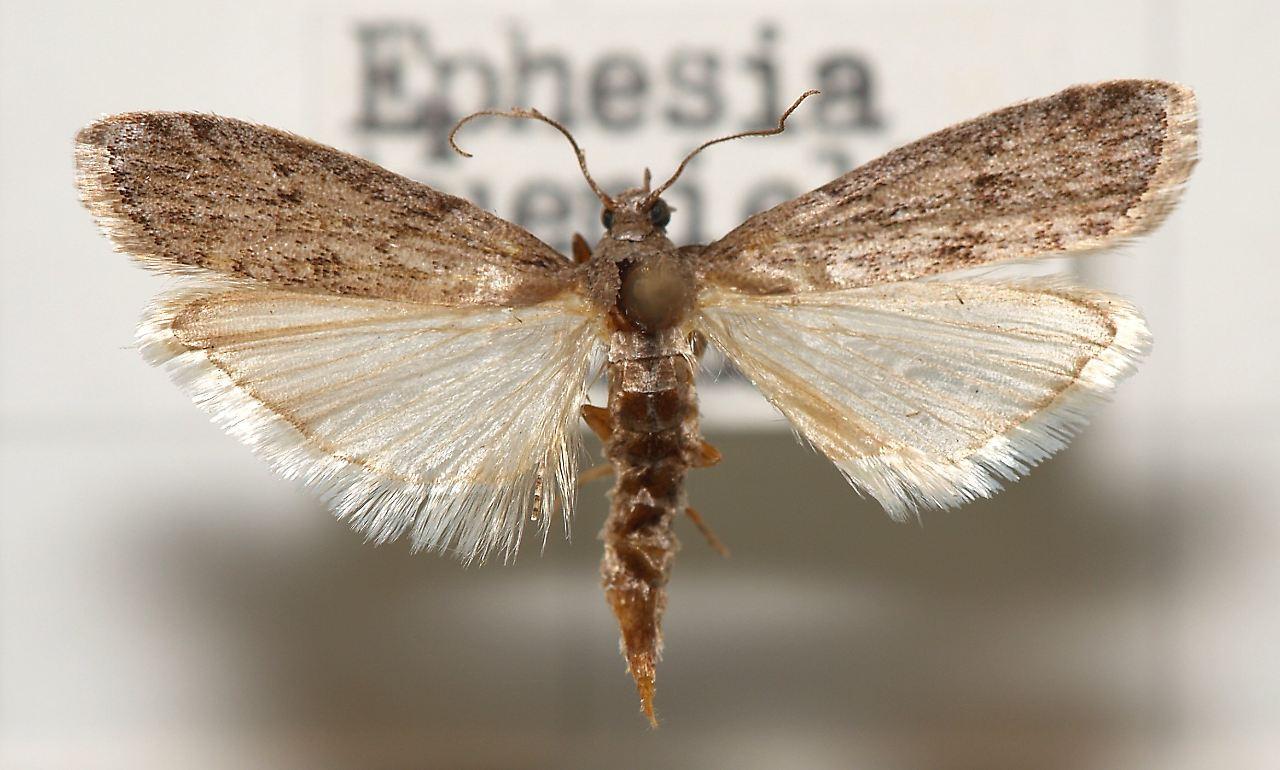 eine mehlmotte ephestia kuehniella - Motten Im Kuchenschrank