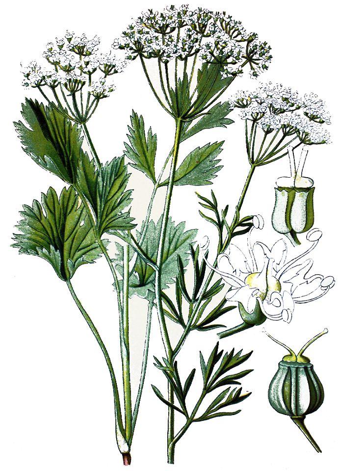 Pimpinella Anisum Seed Pimpinella Anisum in Einer