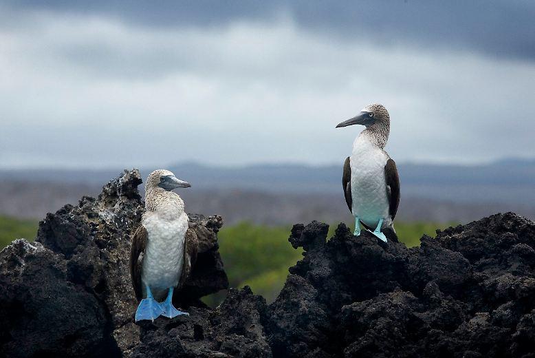 Die Galápagos-Inseln sind Heimat für auffällige Vögel wie die Blaufußtölpel ...