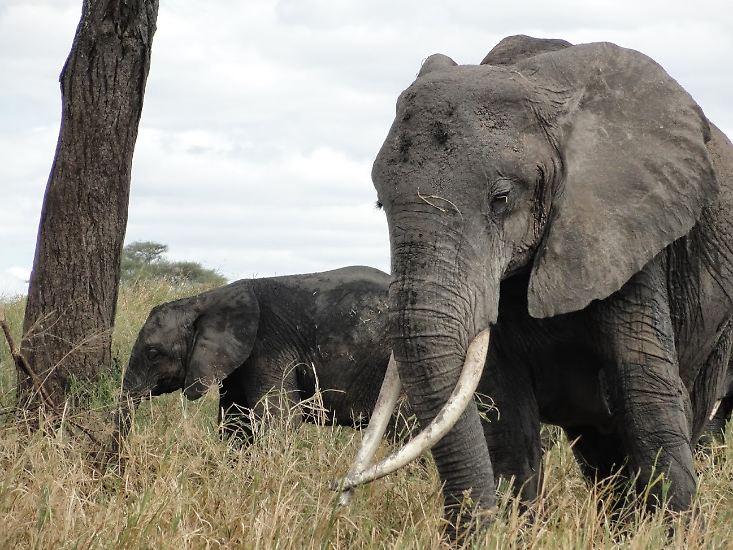 Elefanten sind die größten auf dem Land lebenden Säugetiere der Erde: Je nach Art können sie zwischen zwei und fünf Tonnen Körpergewicht und eine Größe von bis zu vier Metern erreichen.