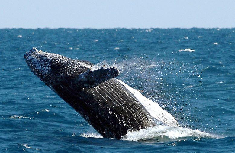 Der kommerzielle Walfang ist seit fast 30 Jahren international verboten - und das aus gutem Grund: Viele der riesigen Meeresbewohner sind in ihrem Bestand gefährdet und sie können sich nur langsam erholen.