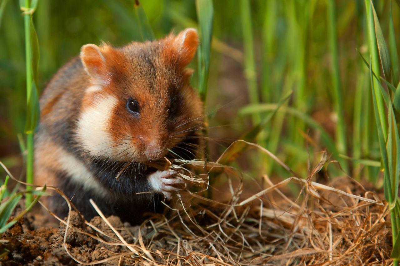 qualvolle zucht bedingungen das ble drecksleben von hamster und co n. Black Bedroom Furniture Sets. Home Design Ideas