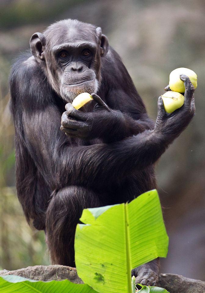 Hnlich wie bei menschen schimpansen w rden auch lieber - Miesmuscheln offen vor kochen ...