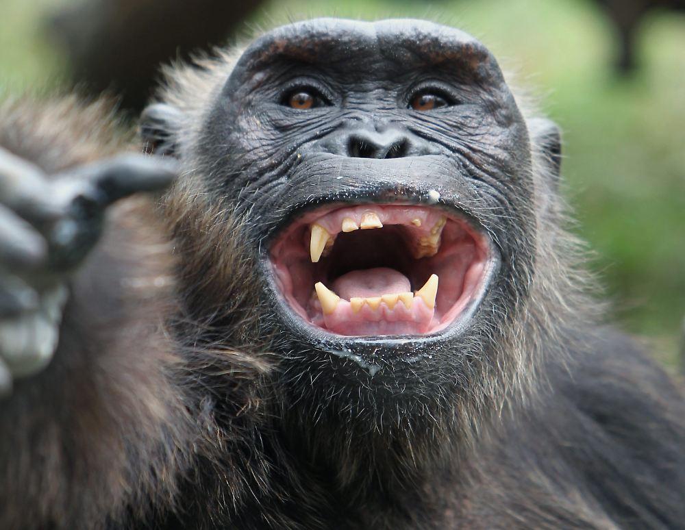 Lachende Affen