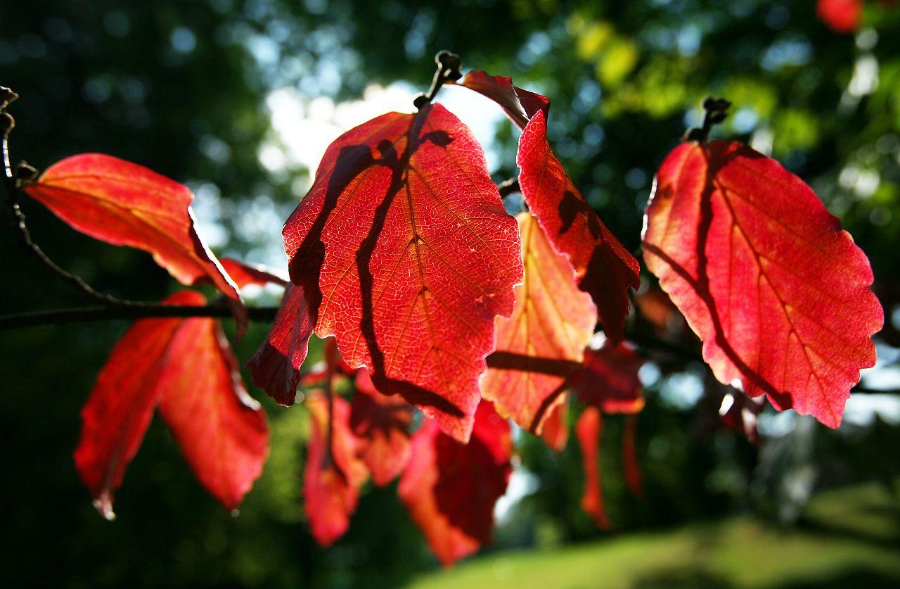 Frage & Antwort, Nr. 141: Warum wird Herbstlaub nicht immer rot? - n ...