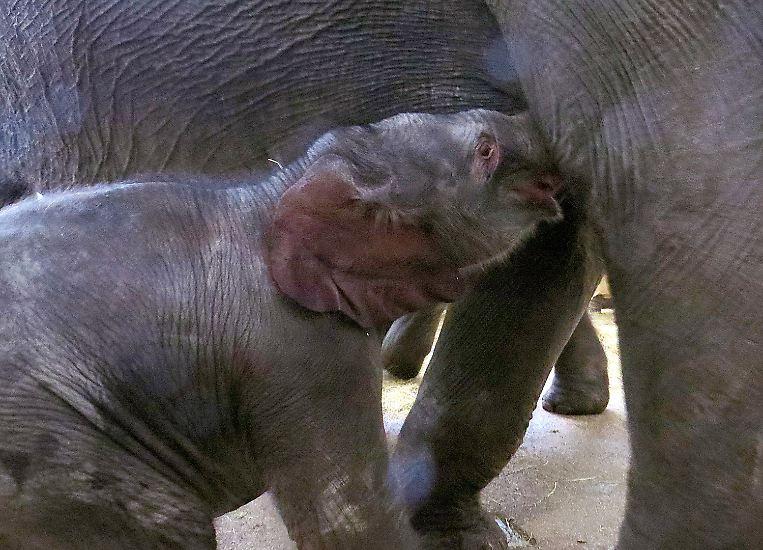 Dieser kleine Elefant steckt voller Überraschungen.
