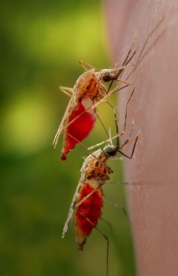 bio waffe im kampf gegen malaria bakterien machen erregerm cken harmlos n. Black Bedroom Furniture Sets. Home Design Ideas
