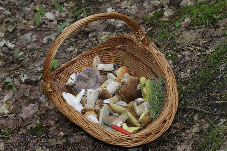Die Hoch-Zeit der Pilzsaison steht bevor. Da freut sich manch einer schon auf die Pfanne mit frischen, selbst gesammelten Speisepilzen aus dem Wald. Doch damit das ...