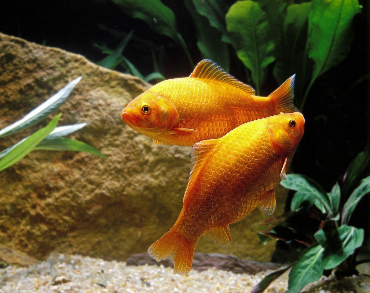 Goldfische im teich stunning kois und goldfische for Bilder teichfische