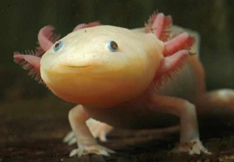 Wenn ihm ein Bein oder der Schwanz abreißt, macht das dem Axolotl gar nichts aus: Dem freundlich aussehenden Molch wachsen in kürzester Zeit komplett neue Körperteile nach, ohne dass eine einzige Narbe entsteht.
