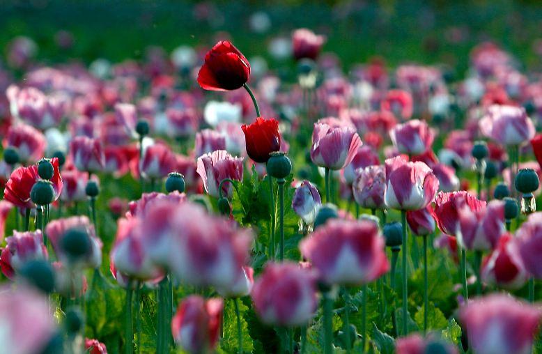Schlafmohn sieht auf den ersten Blick harmlos aus. Doch er hat es in sich: Aus dem Schlafmohn wird Opium gewonnen.