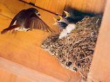 Specht kann gefährlich werden: Was tun, wenn Vögel am Haus nisten?