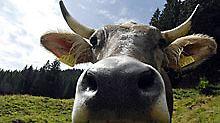 Milch von glücklichen Kühen auf der Wiese hat einen größeren Anteil bestimmter Fettsäuren.