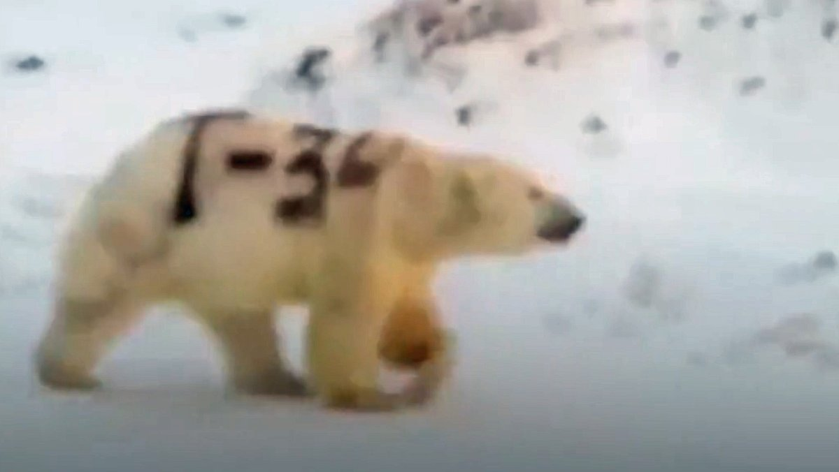 Video zeigt Eisbär mit mysteriösem Militär-Graffiti